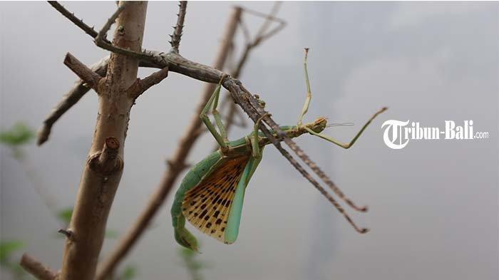 Hari Purwanto Budidayakan Ratusan Jenis Serangga, Mulai Dari Jenis Phasmid Hingga Kumbang