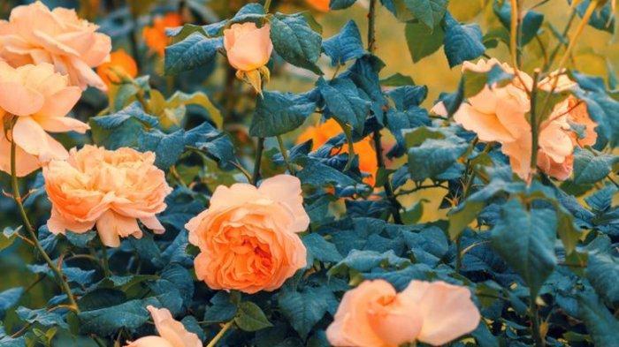 5 Warna Bunga Mawar Beserta Artinya Untuk Valentine Day, Jangan Sampai Salah Beli