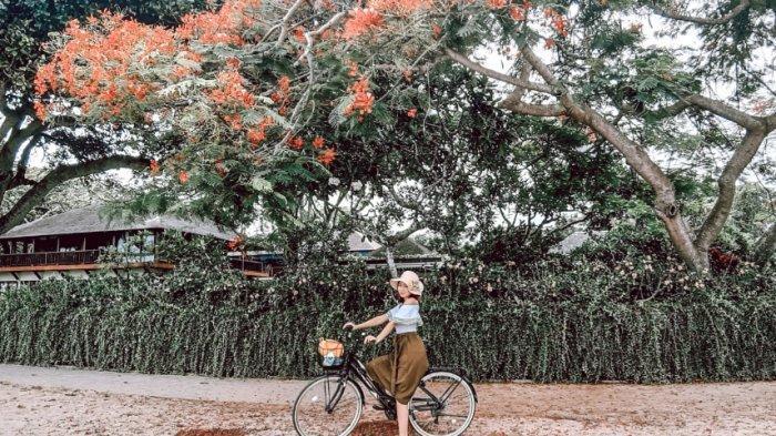 Pohon Merak di Pantai Karang Jadi Spot Foto Instagramable, Berbunga Setahun Sekali
