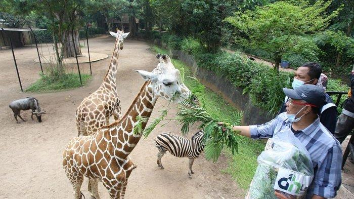 Jerapah di Bandung Zoological Garden (Bazoga) sedang diberi makan