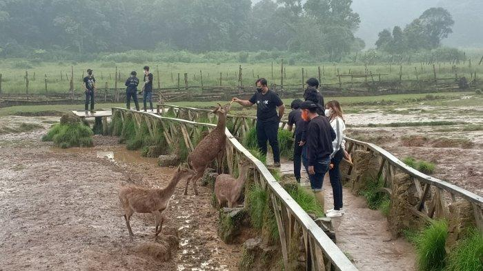 Pengunjung sedang memberi makan rusa di Penangkarana Rusa Rancaupas, Rancabali, Kabupaten Bandung, Minggu (23/5/2021).
