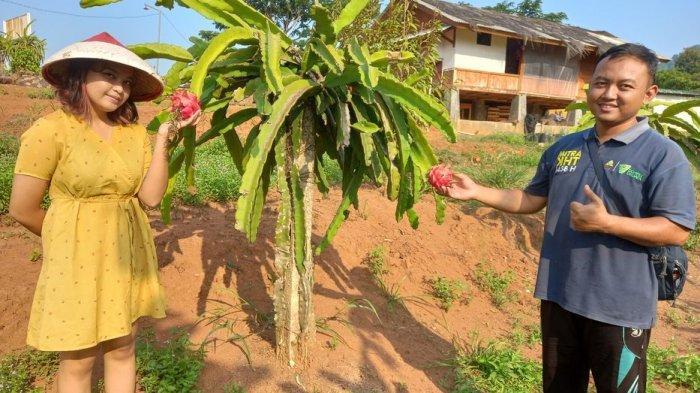 Berwisata ke Desa Cirangkong, Petik Sendiri Buah Naga Langsung di Kebunnya, Ada Tempat Kampingnya