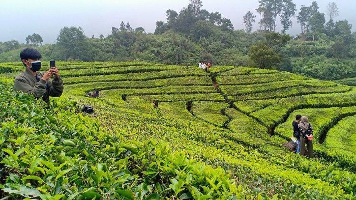 Kebun teh Rancabali yangmenjadi tempat alternatif berwisata saat penerapan PPKM Level 4 di Kabupaten Bandung, Minggu (1/8/2021)