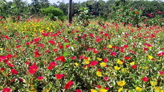 Kebun Bunga dan Ternak Lebah di Tepi Bendungan Sadawarna, Sumedang,Geliat Wisata Edukasi Jabar