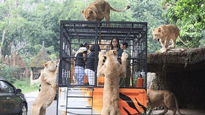 Lokasi memberi makan macan di Taman Sari Cisarua Bogor