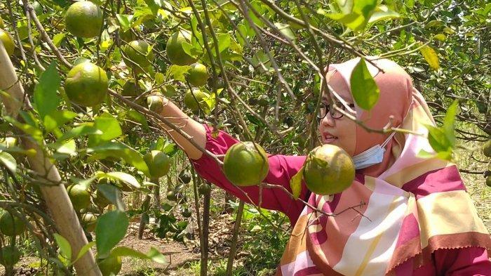 Sungguh Mengasyikan, Memetik Jeruk Sepuasnya Langsung dari Pohon di Kebun Jeruk Desa Segeran