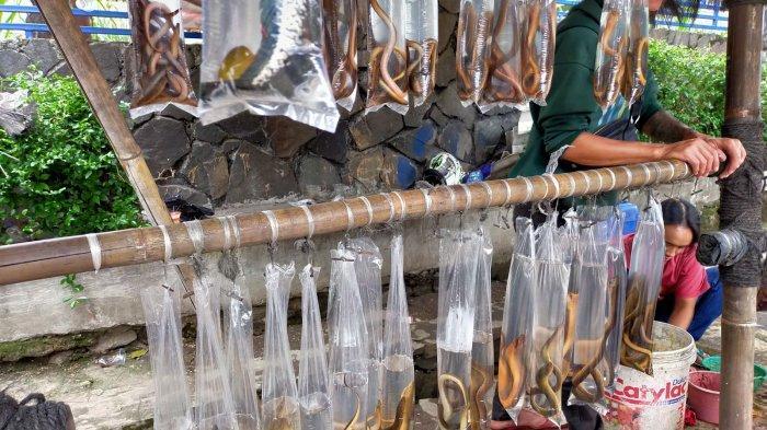 Belut dan Ikan Gabus Ini Banyak Khasiatnya dan Lezat Dikonsumsi, Banyak Dijual di Jalan Rumah Sakit