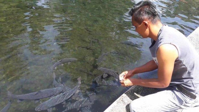 Berenang di Cibulan Bisa Dicium Ikan Dewa, Perlu jasa Pawang untuk Memanggil Ikannya
