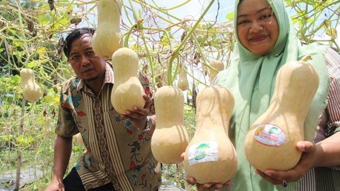 Contoh labu madu yang dikembangkan di Vita Farm di Desa Nambaan, Kecamatan Ngasem, Kabupaten Kediri, Jatim