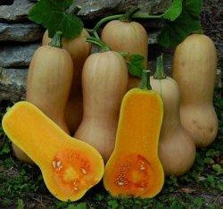 Labu madu (Cucurbita moschata) atau pumpkin butternut