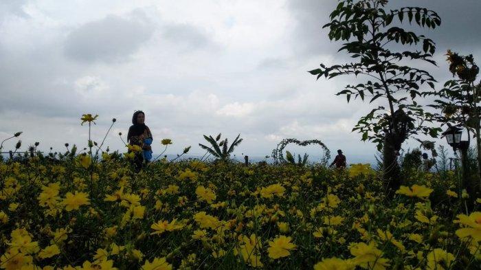 Masuk taman Bunga Celosia di Kuningan Boleh Bayar Seikhlasnya, Tempatnya Pas untuk Berswafoto