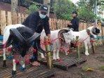 Domba Garut Jadi Andalan Desa Wisata Sukalaksana di Kecamatan Samarang, Kabupaten Garut