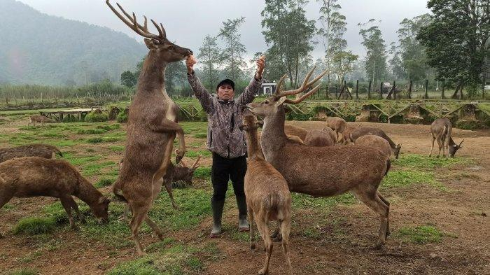 Aep Salahudin dulu Seorang Pemburu Namun Kini Sayang dengan Rusa, 15 tahun Jadi Pawang di Rancaupas