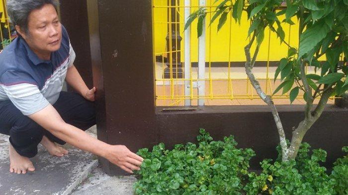 Lili Supriatna, Guru SMKN 1 Cipaku Ciamis, Tanam & Kembangkan Bayam Brazil yang Berkhasiat