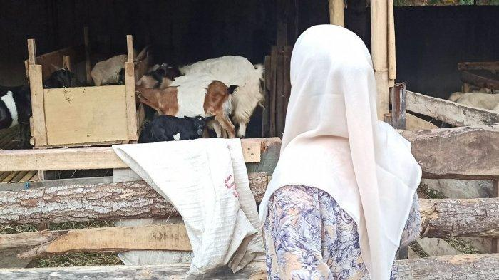 Citra Tobing melihat kambing-kambing dan domba-domba peliharaannya