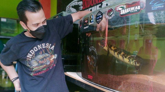 Ikan Channa Pepen Hasilkan Jutaan Rupiah Sebulan, Semua Berawal dari Hobi