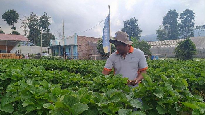 Kebun Stroberi Roy Beromzet Puluhan Juta Sebulan, Membangun Usaha dari Obrolan di Warung Kopi