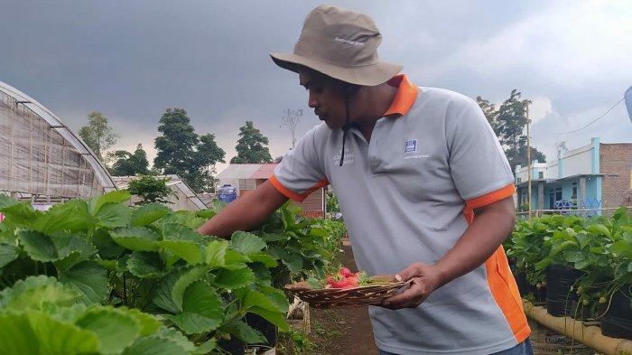 Roy Yudistira memetik stroberi di Desa Cikahuripan, Lembang, Kabupaten Bandung Barat