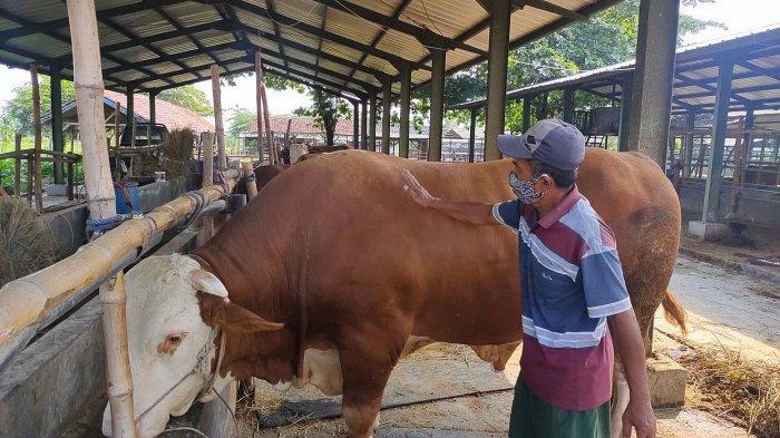 Puluhan Tahun Berbisnis Ternak, Haji Omo Jual Sapi Si Bima Asal Majalengka Rp 75 Juta