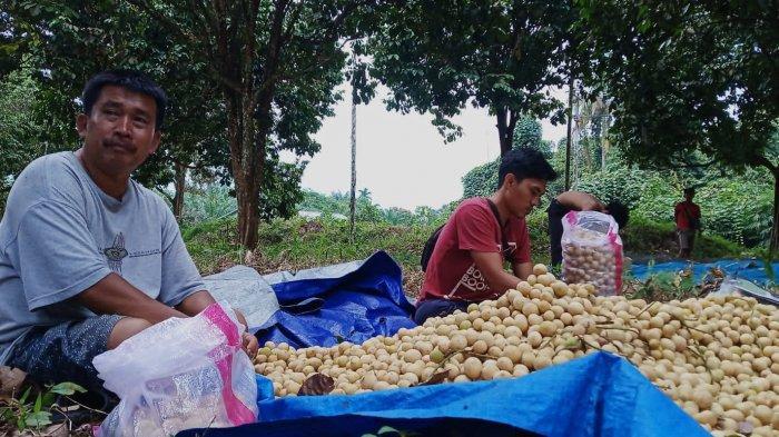 Duku Selang dari Kabupaten Tanjung Jabung Timur Kini Menjadi Buruan Pecinta Buah