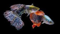 Tak Kalah Dengan Ikan Cupang, Ikan Guppy Berwarna Cantik dan Mungil Bisa Anda Budidaya