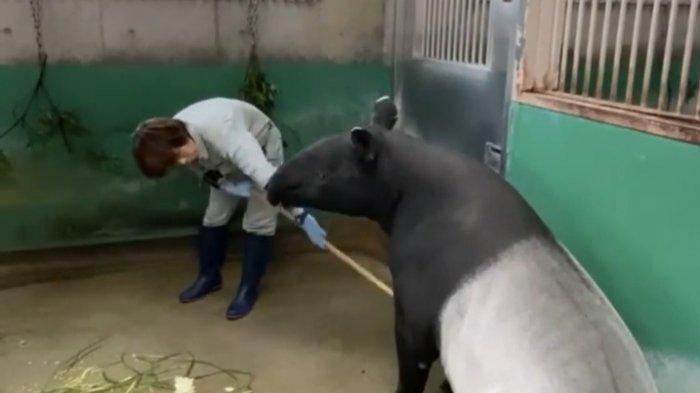 Peby Akan Melahirkan, Koleksi Tapir di Taman Rimba Zoo Kota Jambi Akan Bertambah