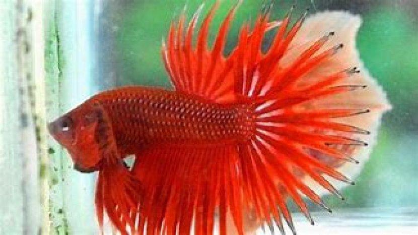Ketahui Mitos Menarik Ikan Cupang, Menyerang Ikan Lain Hingga Kesepian