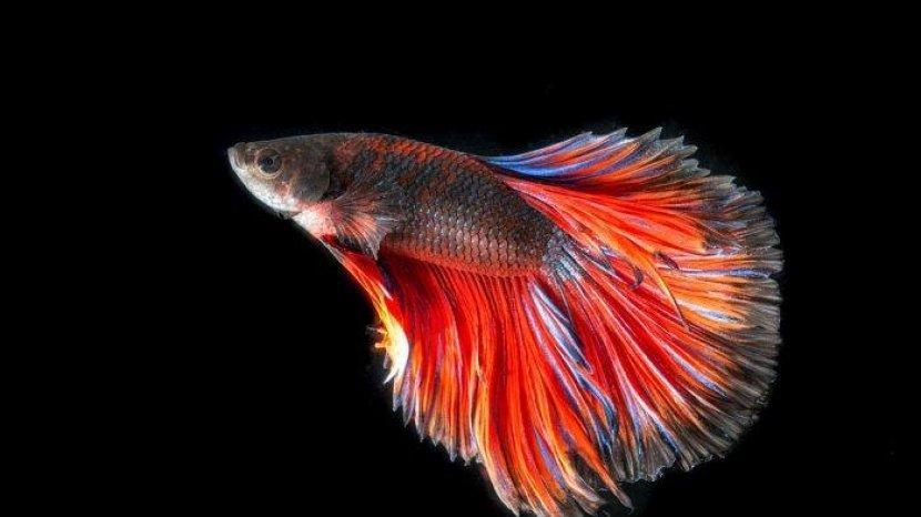 Ketahui Sebelum Pelihara Ikan Cupang, Jenis Ini Banyak Diburu Masyarakat