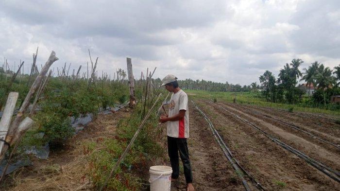 Ogah Jual ke Tengkulak, Petani Cabai di Kota Jambi Ini Memilih Berjualan Secara Online