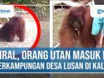 Orang-Utan-Masuk-ke-Perkampungan-di-Kalimantan-Timur.jpg