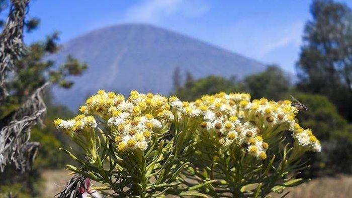 5 Gunung di Indonesia yang Memiliki Hamparan Edelweis Nan, Manakah yang Jadi Favoritmu