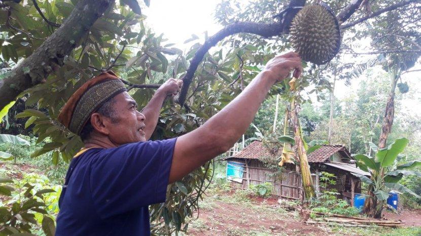 Pesona Durian Malika Membuat Pecintanya Tak Bisa Berpaling ke Lain Hati, Sampai Harus Inden