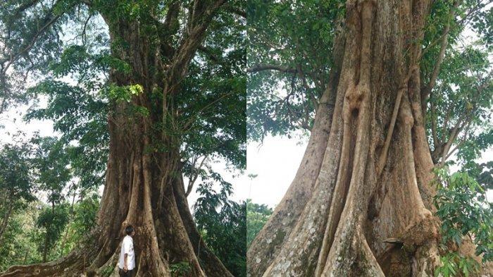 Begini Penampakan Pohon Raksasa di Kelurahan Sumurrejo, Pernah Memenangi Festivel Pohon