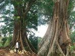 kolase-foto-pohon-sono-di-kelurahan-sumurrejo-gunungpati.jpg