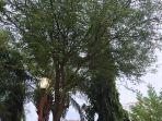 pohon-asam.jpg