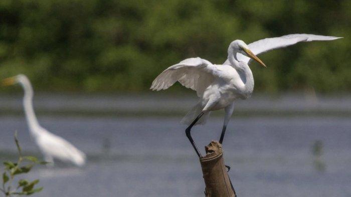 Keindahan Burung Blekok yang menjadi penghuni kawasan mangrove Desa Wisata Kampung Blekok Situbondo