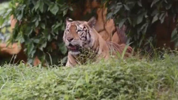 Kebun Binatang Surabaya Gelar Wisata Virtual Tour bersama Harimau, Jalan-Jalan Seru di Rumah
