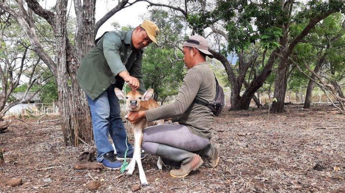 Hasil Konservasi Semi Alami Anak Banteng Jawa Lahir di Taman Nasional Baluran Situbondo