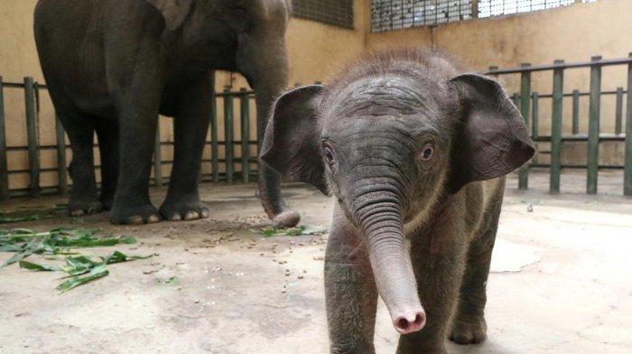 Kelahiran Gajah Sumatera di Taman Safari Prigen Pasuruan Sambut Hari Gajah Dunia