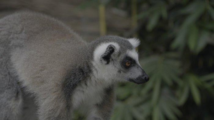 Peringati Hari Lemur Sedunia, Jatim Park 2 Ajak Pengunjung Berinteraksi Satwa Endemik Madagaskar
