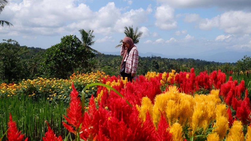 VIDEO : Melihat Keindahan Hamparan Bunga di Agrowisata Tamansuruh Banyuwangi