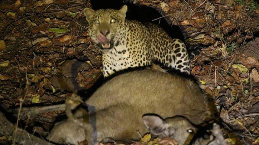 Keberadaan Macan Tutul di Taman Nasional Baluran Tersorot Kamera