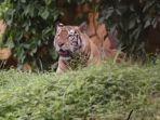 Harimau-di-Kebun-Binatang-Surabaya.jpg