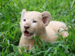 gisel-anak-singa-putih-di-taman-safari-prigen.jpg
