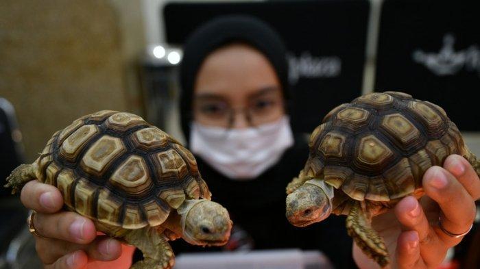 Pandemi Bawa Tren Baru dalam Memelihara Reptil, Kura-kura Sulcata Naik Daun