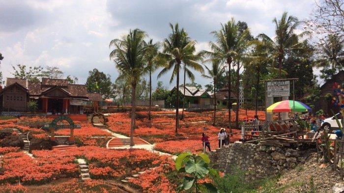 Kebun Bunga Amarilis di Gunung Kidul Kembali Bermekaran