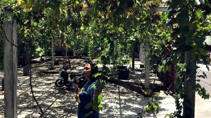 Unik, Ada Kampung di Bantul Dipenuhi Tanaman Anggur