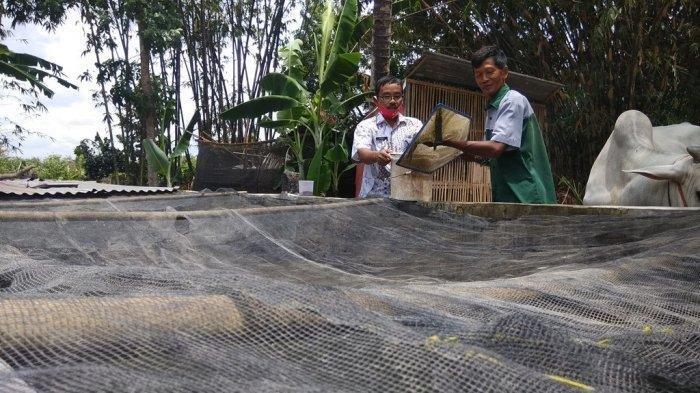 Inovasi Membudidayakan Ikan Gabus? Begini Caranya, Bisa Pakai Pakan Pelet