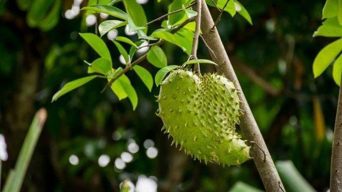 Manfaat Biji Buah Sirsak, Dapat Basmi Kutu Kepala hingga Penolak Serangga