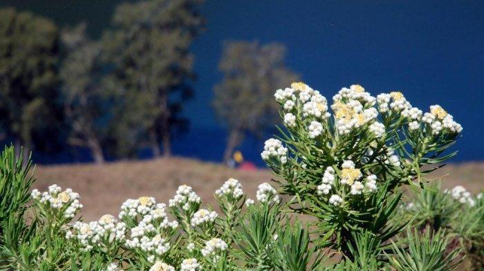 Dilarang Dipetik, Bunga Edelweis Dijual Resmi di Kawasan Bromo